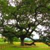 """La Quercia della Checche, il primo albero riconosciuto come """"bene culturale"""" in Italia"""