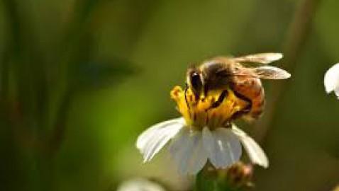 L'Europa è a un passo dalla soglia critica per l'estinzione delle api