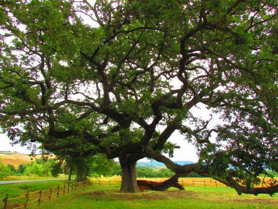 quercia-delle-checche